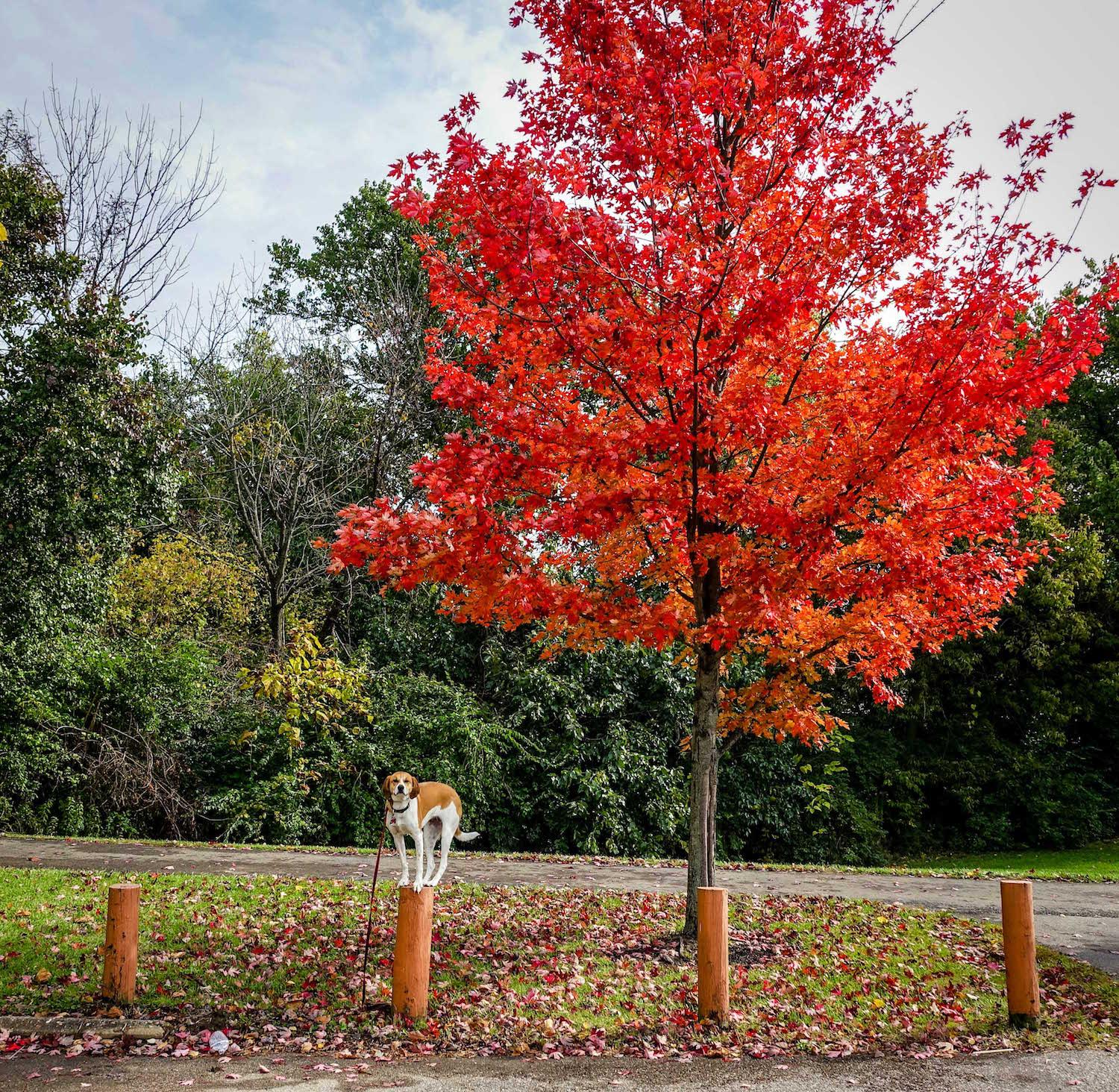 LOCATION: Colerain Park in the fall / Mollie is a local Instagram celebrity. Famous for posing on fire hydrants in front of ArtWorks murals (and other Cincy landmarks), this hound dog has officially stolen our hearts. You can follow her adventures on Instagram @molliethehounddoggie / Image: Patti Mossey (Mollie's owner and #1 fan) // Published: 5.1.18