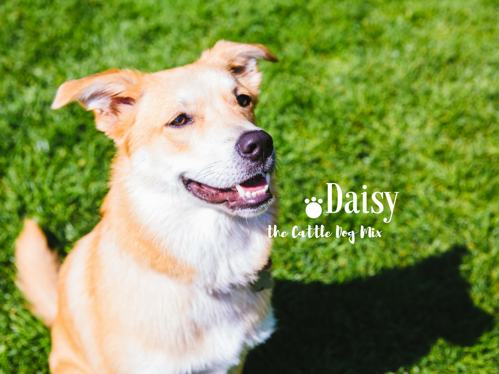 Everyone meet, Daisy! Daisy is a 10-month-old Cattle Dog mix. She was rescued from an reservation in South Dakota by her parents in Seattle. Daisy likes hiding bones in the couch, cuddles, red peppers, swimming, soft blankets, and licking the dishwasher. Ahhh, nothing like the taste of fresh dishes! She dislikes bath time, people who don't give pats, her mom's hairdryer, hot nights, and loud noises. (Image: Sunita Martini / Seattle Refined)