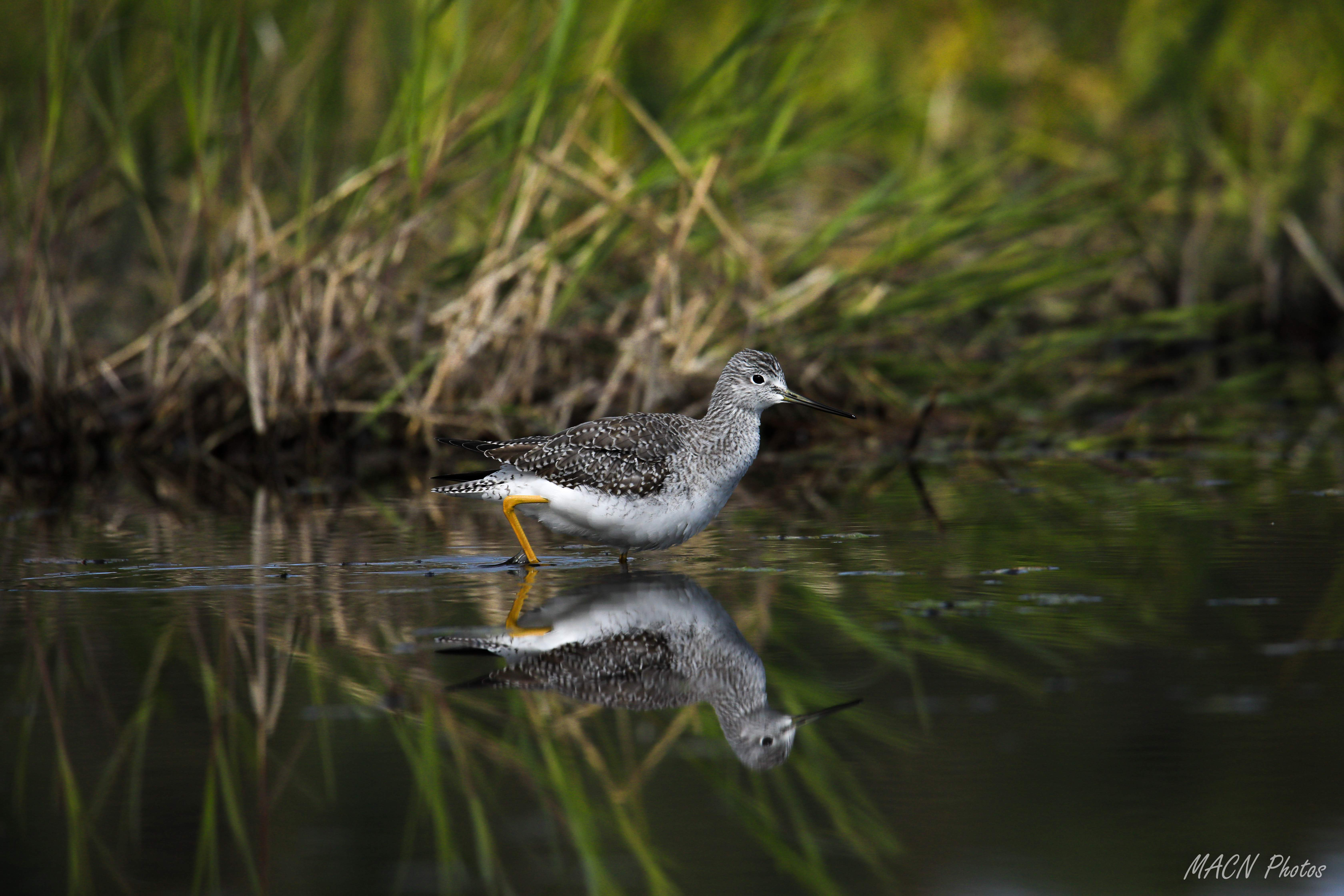 Third Place: Allen Smith of Medford took this photo of a yellowlegs wading in the shallows near Klamath Falls. - Photo by Allen Smith