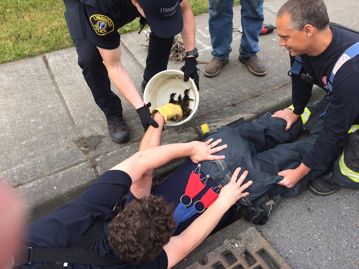 10 baby ducks were reunited with their mother Saturday after being rescued from a storm drain in Lynnwood. Firefighters and police officers worked together to pull the birds from the drain, in the 7500 block of Olympic View Drive. No ducks were injured.  Photo via Lynnwood Fire Dept./Twitter.