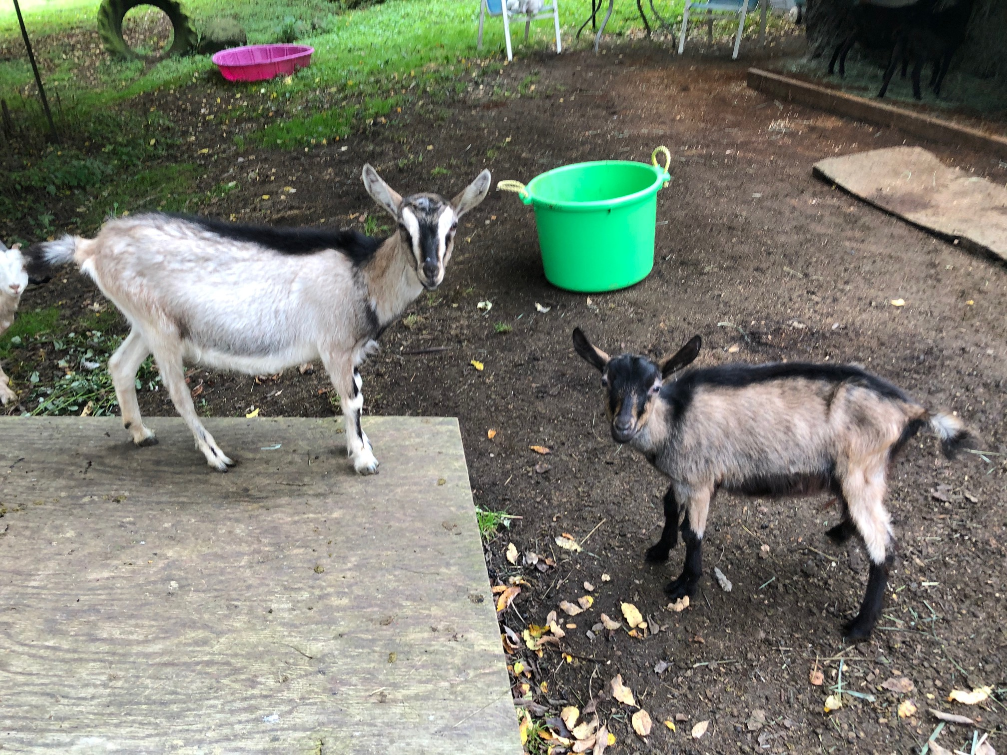 There is a lot of misinformation when it comes to goats. They are smart, sociable and can bond with humans. (Image: Seattle Refined)