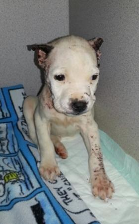 Jones, a pit bull, is only a month old. The dog was found in the cold with what appears to be a botched home ear pin operation.