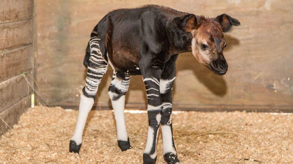 Rare Baby Okapi Born At Zootampa Dies Wear