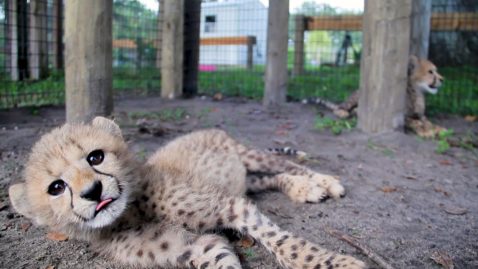 Cheetahs At Carson Spring Are First Ever Born In Gainesville Wgfl