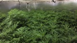 Cal City police conduct morning raid and find more than 200 marijuana plants at home