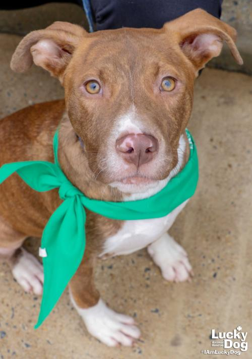 Uncle (Ula's brother) is a 5-month-old, 14-pound Terrier mix who is also looking for a home for the holidays, where he can make dog park trips and get lots of love. You can get more info about Uncle here: https://bit.ly/2SF4dZE (Image: Courtesy Lucky Dog Animal Rescue)