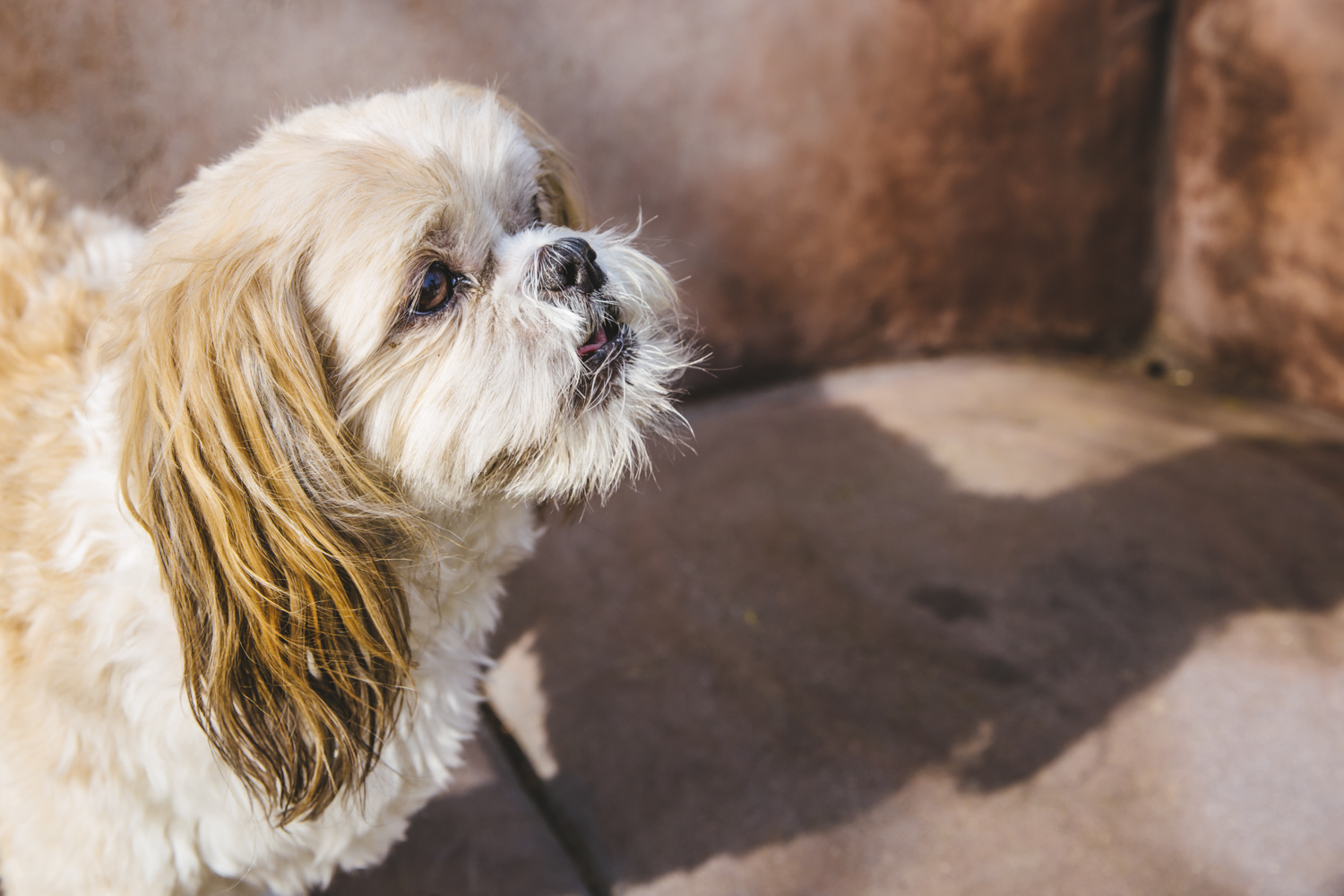 Meet 11-year-old Mick Jagger. Mick Jagger is a Shih Tzu who was rescued from the Bellevue Humane Society! Mick Jagger likes cats (even though it's not a mutual relationship) and dislikes the mailman. He does a great job of running the mailman off everyday. He hates social media because it takes up his mom's precious time when he should be the center of attention. Ain't that the truth, Mickey Baby!{ }The Seattle RUFFined Spotlight is a weekly profile of local pets living and loving life in the PNW. If you or someone you know has a pet you'd like featured, email us at hello@seattlerefined.com or tag #SeattleRUFFined and your furbaby could be the next spotlighted! (Image: Sunita Martini / Seattle Refined).{ }