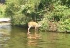 CWD infected deer in water, photo courtesy of WIDNR.JPG