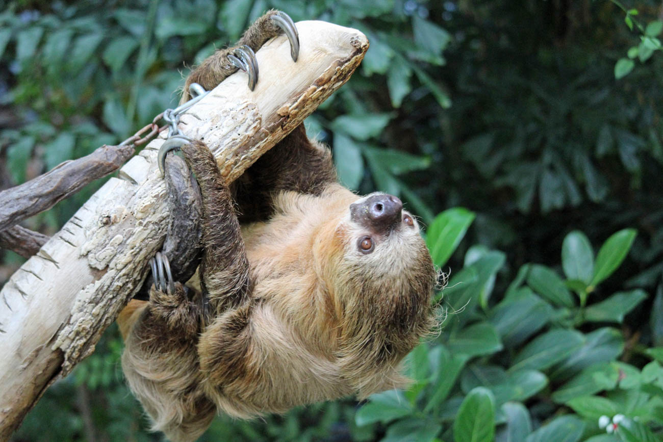 Moe the Sloth from the Cincinnati Zoo & Botanical Garden / Image: Larry Thomas // Published: 1.16.19