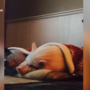 Family heartbroken after city says they can't have pet pig