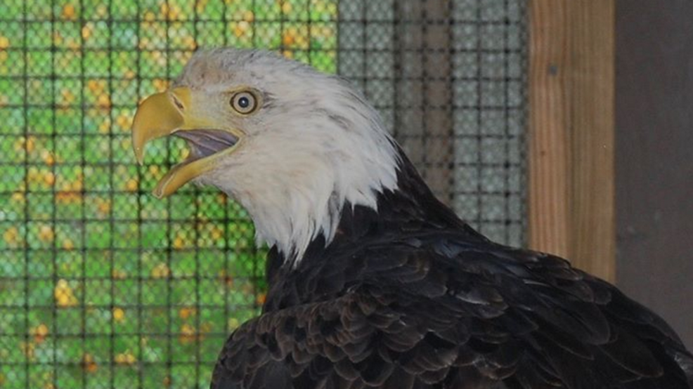 Eagle considered oldest in Maine euthanized after breaking leg
