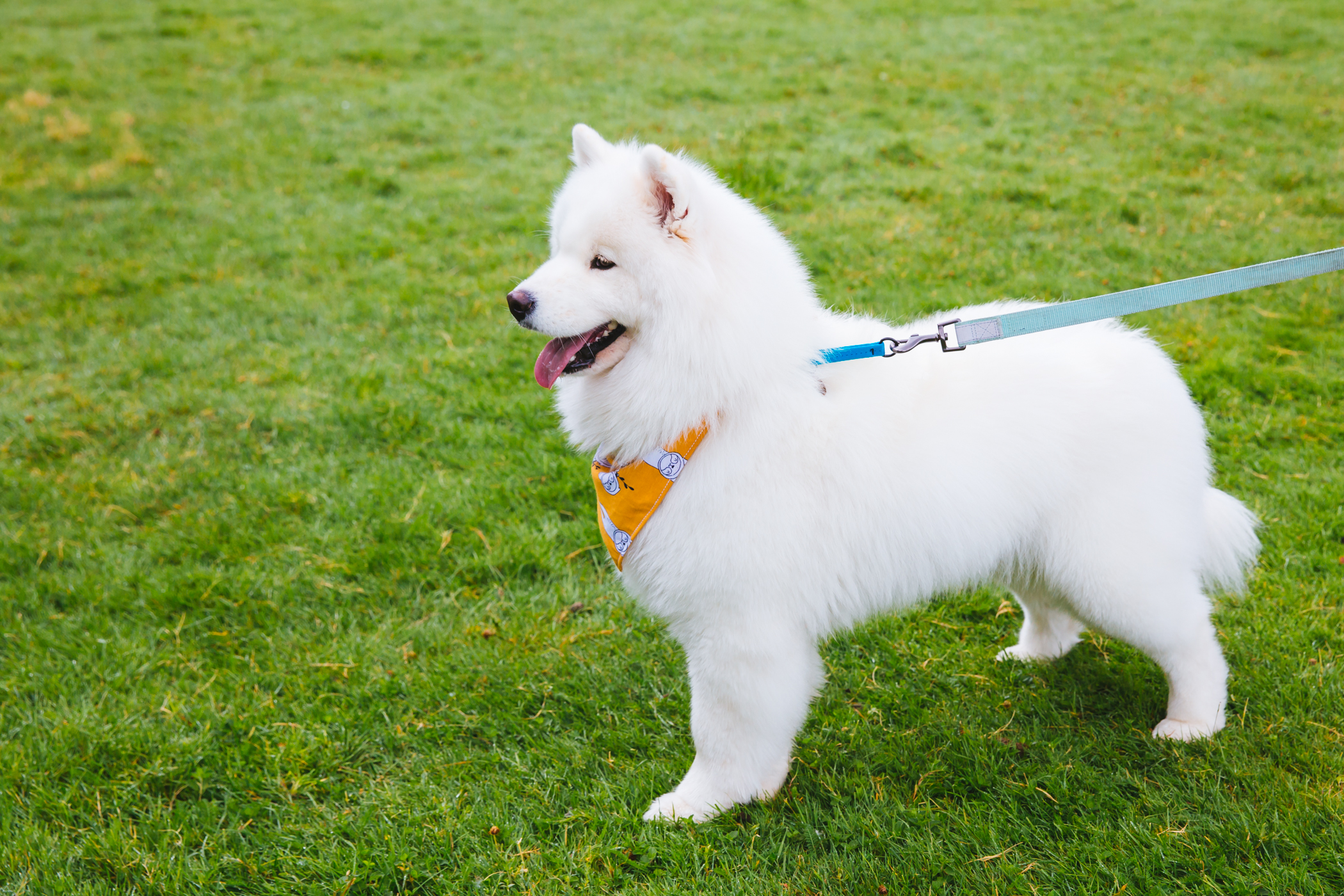 "Ginger is a 2-year-old{&nbsp;}Samoyed adopted by KayLi and Ruifeng Wang in July.{&nbsp;}She was a prior show dog but has quickly adapted to her new family and life. She loves learning new tricks and exploring all the parks that the Seattle area has to offer, especially if there's squirrels or rabbits to chase. She hates baths and the{&nbsp;}vacuum, but loves fresh fruit, jumping into lakes and hanging out and watching TV with her humans. Ginger's a bit shy with new dogs and people, but once she realizes you want to play, she has tons of energy to share. Find her on Instagram{&nbsp;}<a  href=""https://www.instagram.com/ginger.cloud/"" target=""_blank"" title=""https://www.instagram.com/ginger.cloud/"">@Ginger.cloud</a>.{&nbsp;}<a  href=""http://seattlerefined.com/ruffined"" target=""_blank"" title=""http://seattlerefined.com/ruffined"">The RUFFined Spotlight</a>{&nbsp;}is a weekly profile of local pets living and loving life in the PNW. If you or someone you know has a pet you'd like featured, email us at{&nbsp;}<a  href=""mailto:hello@seattlerefined.com"" target=""_blank"" title=""mailto:hello@seattlerefined.com"">hello@seattlerefined.com</a>, and your furbaby could be the next spotlighted! (Image: Sunita Martini / Seattle Refined)"
