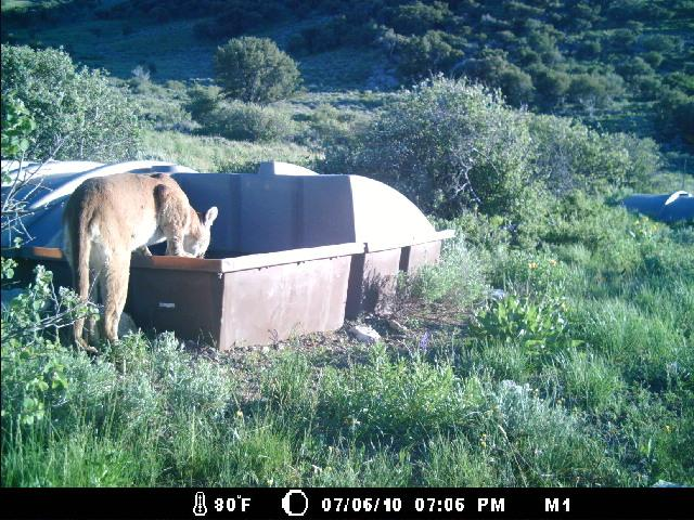 A trail camera catches a mountain lion drinking on July 6, 2010 (Courtesy NDOW)