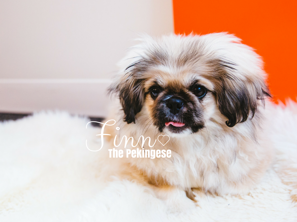 Everybody, meet Finn! He's the cutest Pekingese we've ever met. Finn is a four-month-old Pekingese who is already employed (we gotta go-getter over here) at The Mine. His job is to come into the office everyday and make each person's day brighter! So far he hasn't received a negative review. Thatta BOY, Finn! When he's not cuddled up on a desk taking a nap, you can find him running up and down the halls or posing for the camera (as you can tell he's a natural.) Finn has 400 people he works with and he makes time for everyone who needs a little cheering up! Finn likes playing with balls and toys, taking naps, and meeting new friends. The one, and only thing, he dislikes is peanut butter. (Image: Sunita Martini / Seattle Refined)