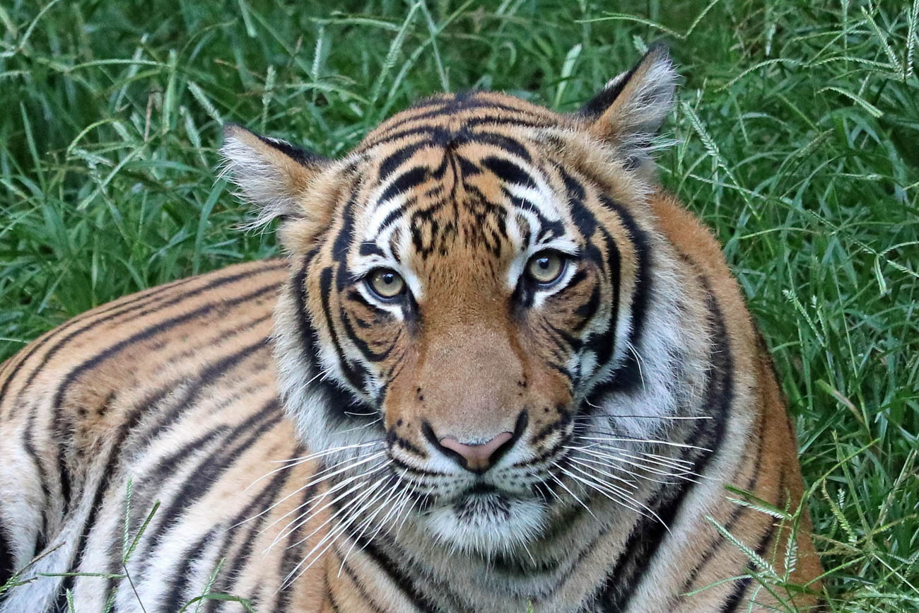 Miss Batari, one of the three Malayan Tigers at the Cincinnati Zoo & Botanical Garden/ Image: Larry Thomas // Published: 1.16.19{ }