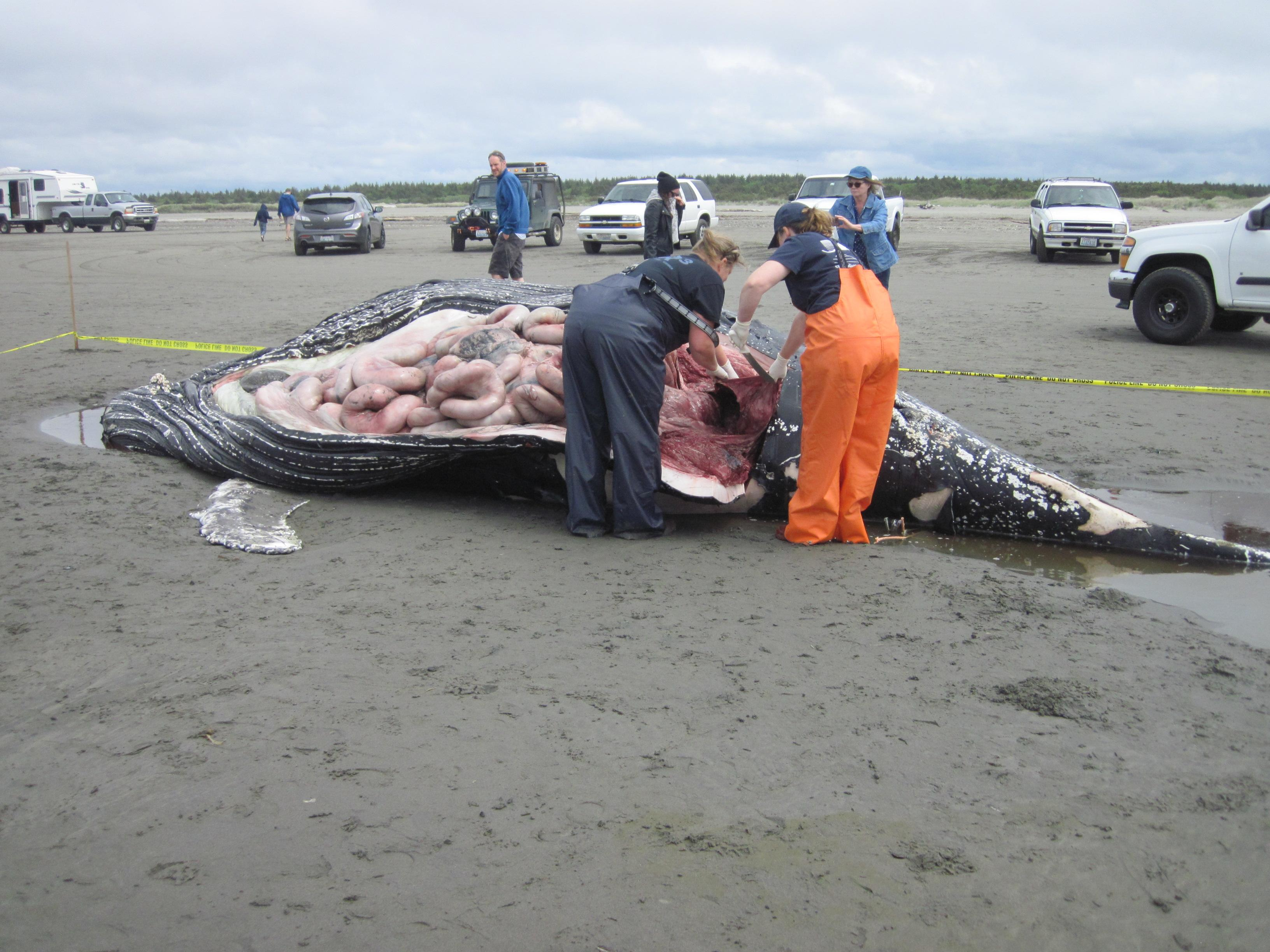 A dead humpback whale washed ashore at Ocean Shores, Wash., on Sunday, May 20, 2018. (Photo: Cascadia Research)