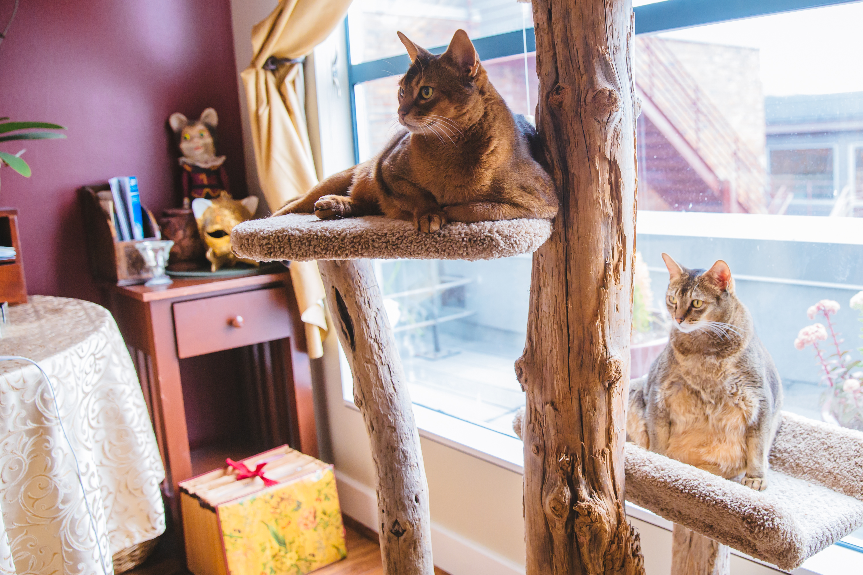"Meet the Downtown Abbys: Mister B, Ramses, and Miss Rose the Abyssinians. Mister B is the old man of the group at 12 years young, then Ramses at 9 years young and then last but not least, Miss Rose at 5 years young. Mister B is a former ""best in show"" show cat and has fully embraced his post fame lifestyle and settled into a routine of snacks and naps. But - that doesn't mean that he still isn't ready for his close ups. Ramses is a rescue from Seattle Area Feline Rescue and is ""the heart of the home."" Ramses has an adventurous spirit and a keen sense to hunt socks, gloves, and hats for sport. Miss Rose is considered the ""devil"" of Belltown and has been seen leaping across the rooftops, spying on neighbors and hunting the occasional insect. The Downtown Abby's like sleeping, eating, catnip (Ramses has a problem) being brushed, watching birds, yogurt, chicken, and snuggling. They dislike empty bowls, loud noises and the vacuum  cleaner. (Image: Sunita Martini / Seattle Refined)."