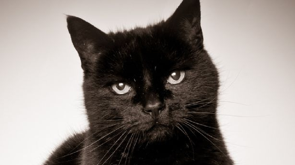 Police Black Cat Crosses Suspect S Path Rats Him Out Wjac