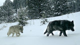 Oregon now home to at least 124 wolves, biologists say