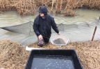 David Wetenkamp checks net used to trap Northern Pike in Willow Creek in Bellevue.JPG