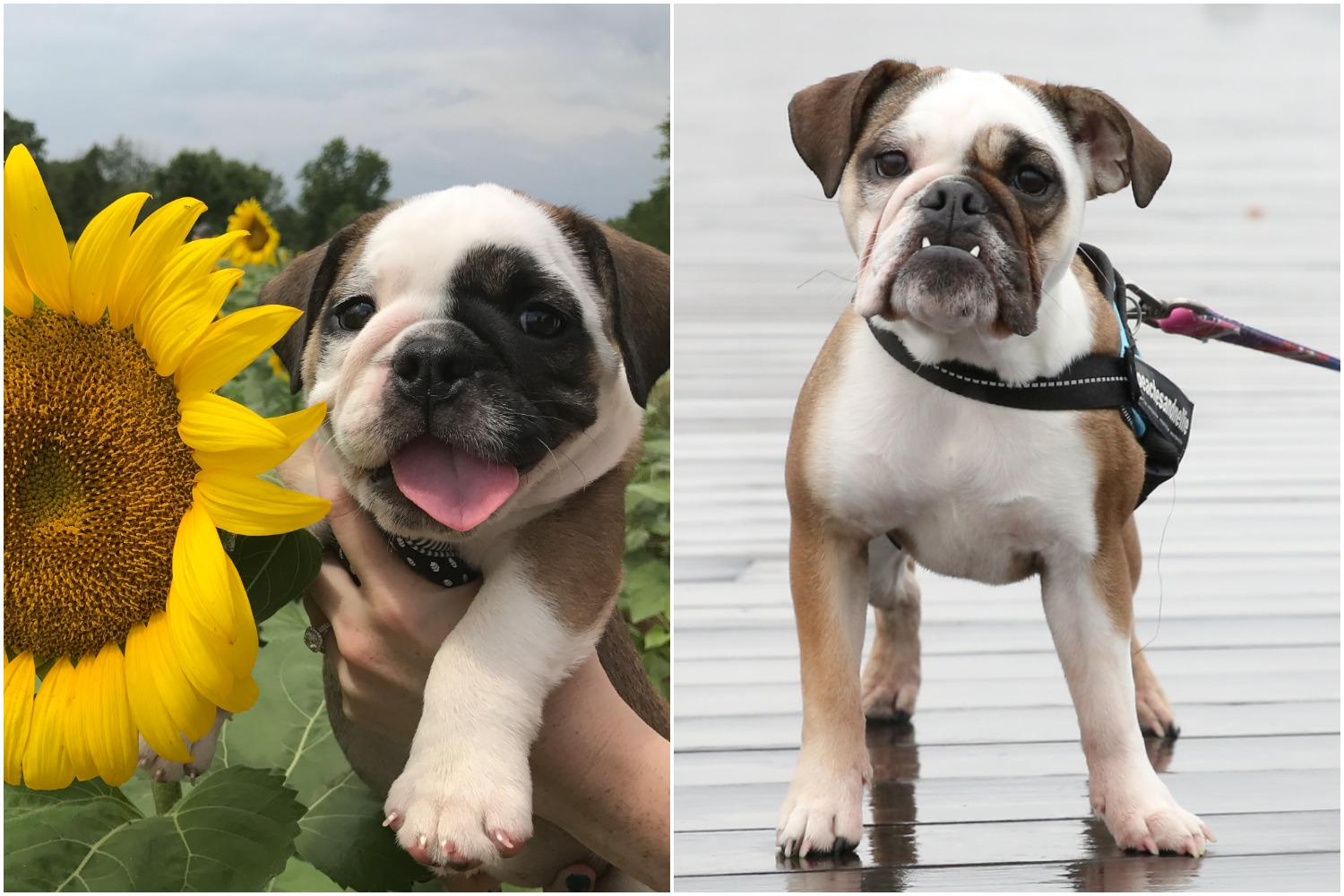 National Puppy Day was last week, but we decided to look{ } up our RUFFined stars and see just how much they've grown! Check out these puppy pics, provided by the dog's owner, next to their RUFFined feature. Nellie still looks like a puppy but she's as cute as ever.{ }