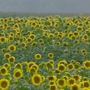 Sunflowers overcome wet spring