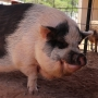 Despite what you see on social media, there is no such thing as a micro pig