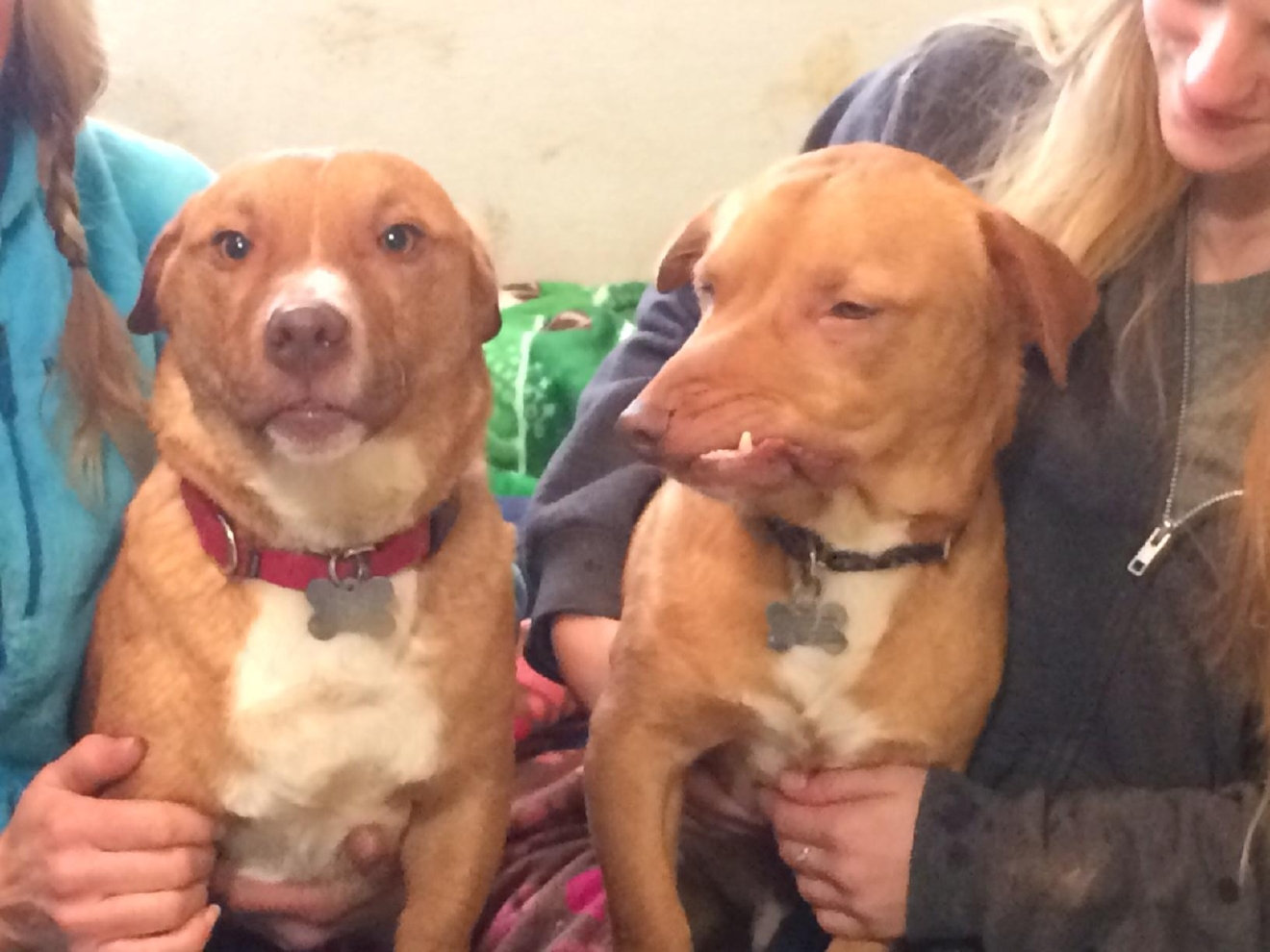 Picasso and his brother, Pablo, both believed to be pit bull corgi mixes, are staying at Luvable Dog Rescue in Eugene. (SBG photo)