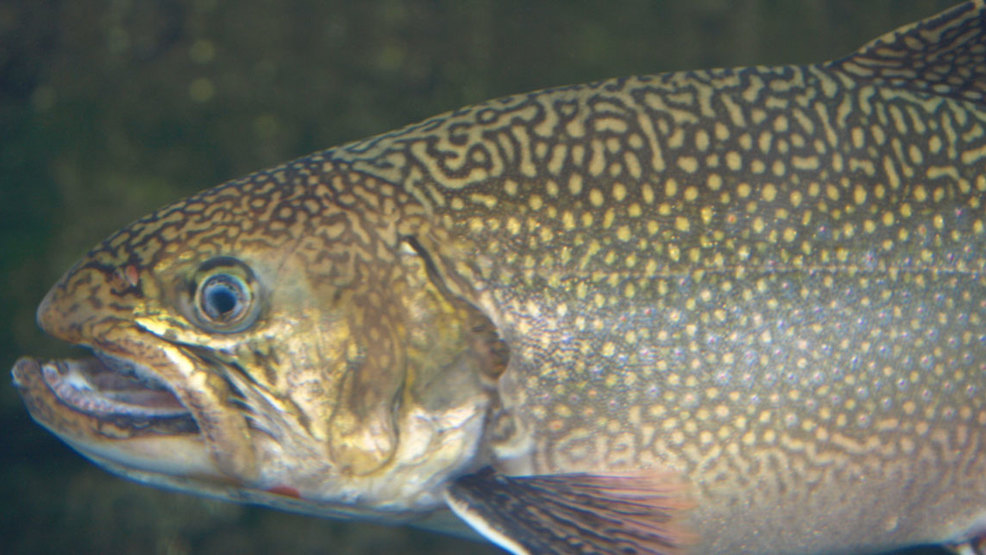State to stock pond with trout after toxic algae for Mass fish stocking