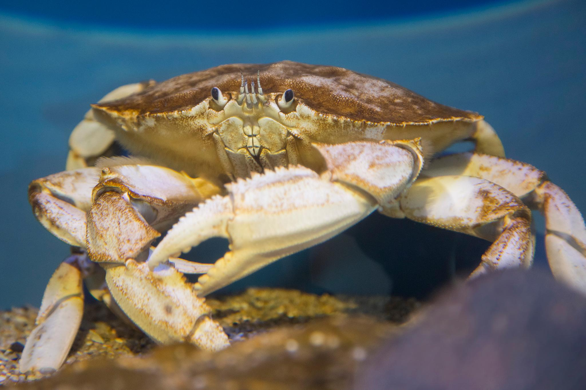 Two all-white Dungeness crab caught off the Central Oregon Coast have been spared from boiling water and butter and put on display at the Oregon Coast Aquarium instead. (Courtesy Oregon Coast Aquarium)