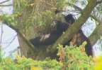 bear_in_tree_04.jpg
