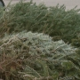 Christmas trees given to people in need