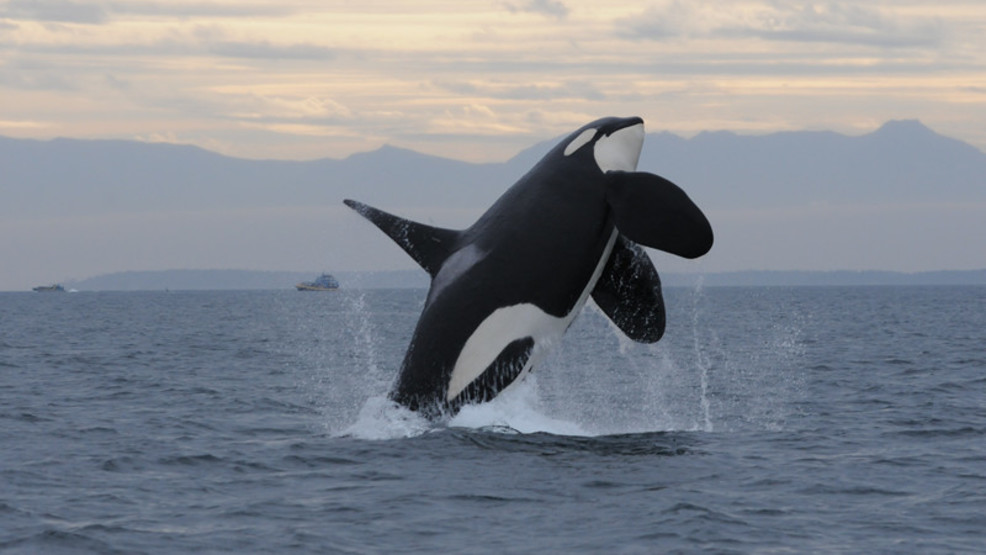 New lawsuit seeks protection zone for Northwest orcas
