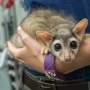 'Long striped tails and Yoda-like ears': A look at 2-month-old ringtails