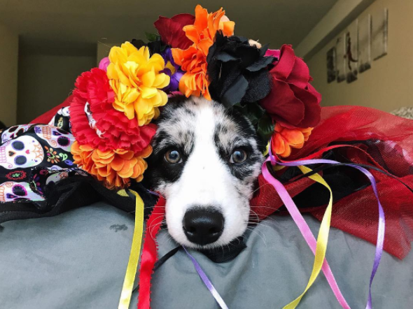 IMAGE: IG user @navycorgi / POST:{&amp;nbsp;}It's my first Halloween and Dia de los Muertos! #navyhalloween<p></p>