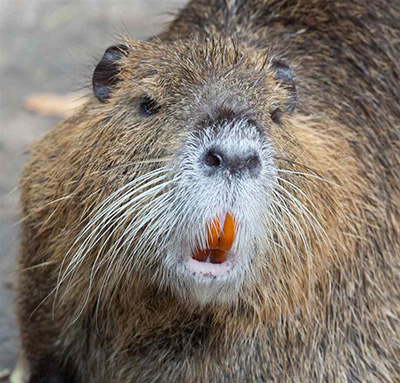 The white muzzle and conspicuous, white whiskers are distinguishing characteristics of the nutria. (Photo courtesy of Tony Northrup.)