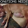 Nonprofit animal rescue collecting donations to help dog with tumor