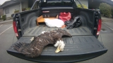 Bald eagle found dead with talons cut off in Brooking, Oregon