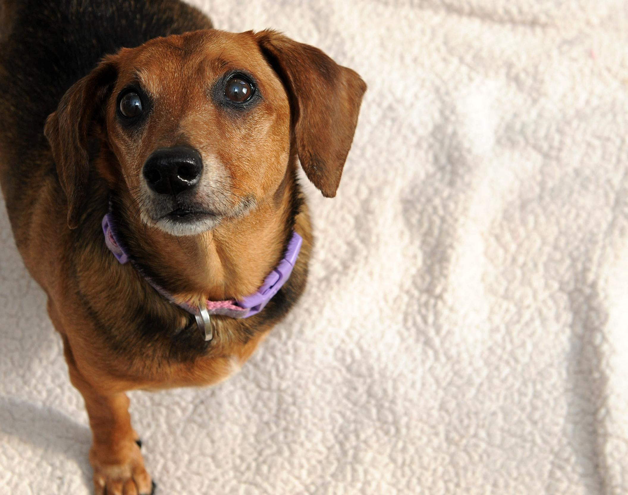 This little lady is 12-years-old and looking for her forever home. As a senior, she is laid back and likes to relax, so a home without children under 12-years-old would be best. (Humane Rescue Alliance)
