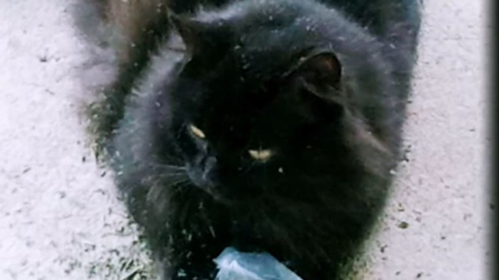 Black Cat Mutilated Now Owner Is Sending A Warning To Others Kabb