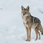 Coyote sightings continue on Boise Bench