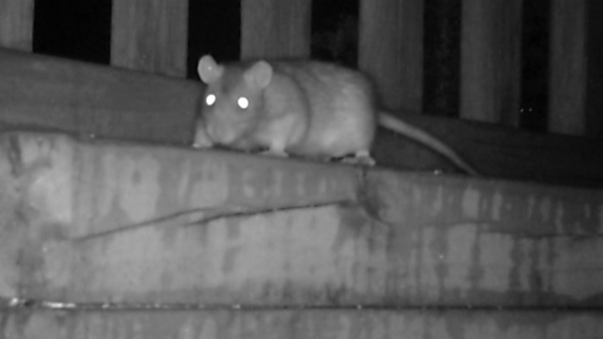 A rat is seen on a trail camera in a backyard on Green Bay's west-side (WLUK).<p></p>