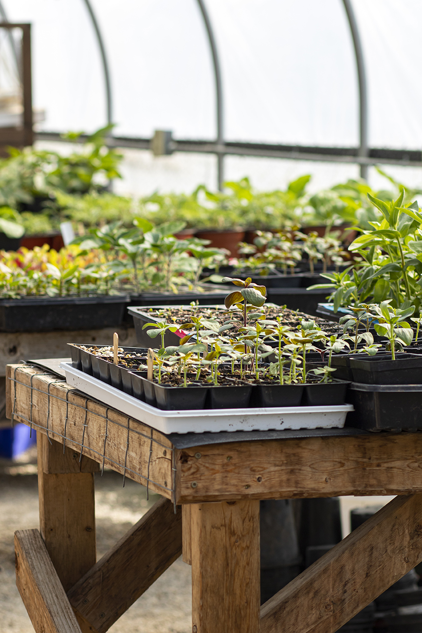<p>Vegetables and herb plants start as seeds and are grown in the greenhouse located on the farm. / Image: Allison McAdams // Published: 5.15.20  </p>