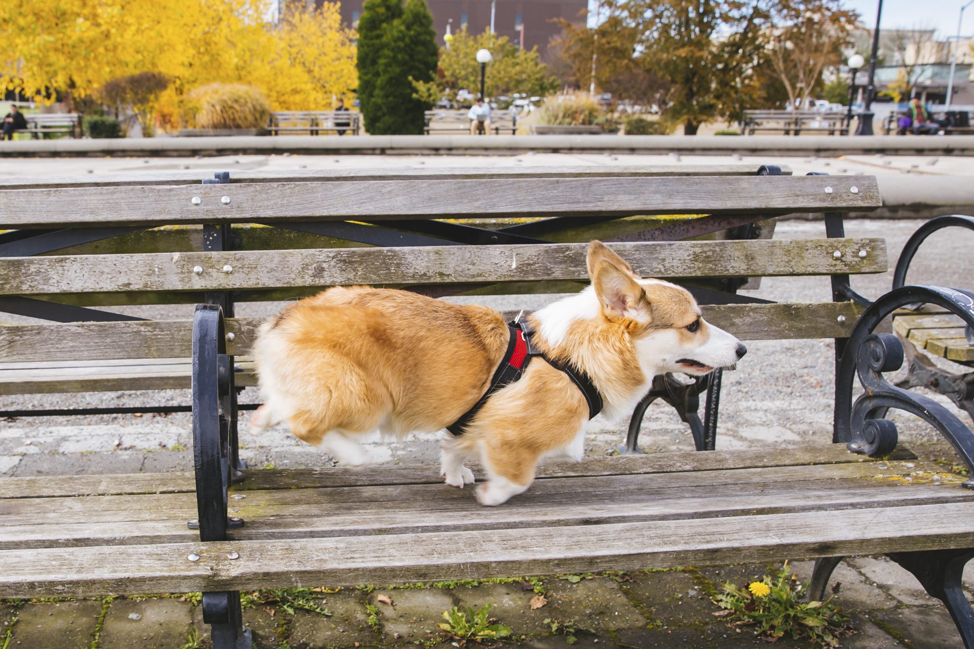 This week we have nine-month-old Bobo the Pembroke Welsh Corgi as our RUFFined Spotlight. Bobo is a low rider who is full of nonstop energy! Don't let his mini legs fool you, they don't stop him from being an active bubba. He is a lover of anyone or anything and his parents call him a pure loving soul ready to take on the world. Bobo likes any toy with a squeaky noise, treats and kisses. He dislikes{ } the doorbell as it is his worst enemy. You can follow Bobo's journey through life @bobothecorgs.{ }The Seattle RUFFined Spotlight is a weekly profile of local pets living and loving life in the PNW. If you or someone you know has a pet you'd like featured, email us at hello@seattlerefined.com or tag #SeattleRUFFined and your furbaby could be the next spotlighted! (Image: Sunita Martini / Seattle Refined).