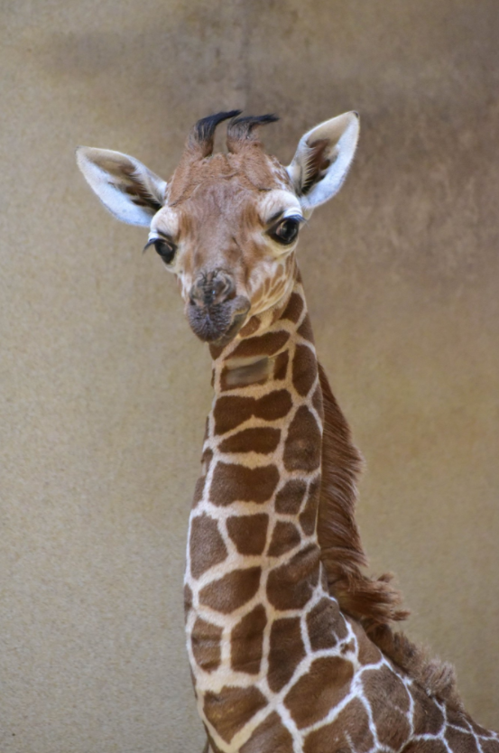Julius the baby giraffe had to be euthanized at the Maryland Zoo. (Photo, Maryland Zoo)