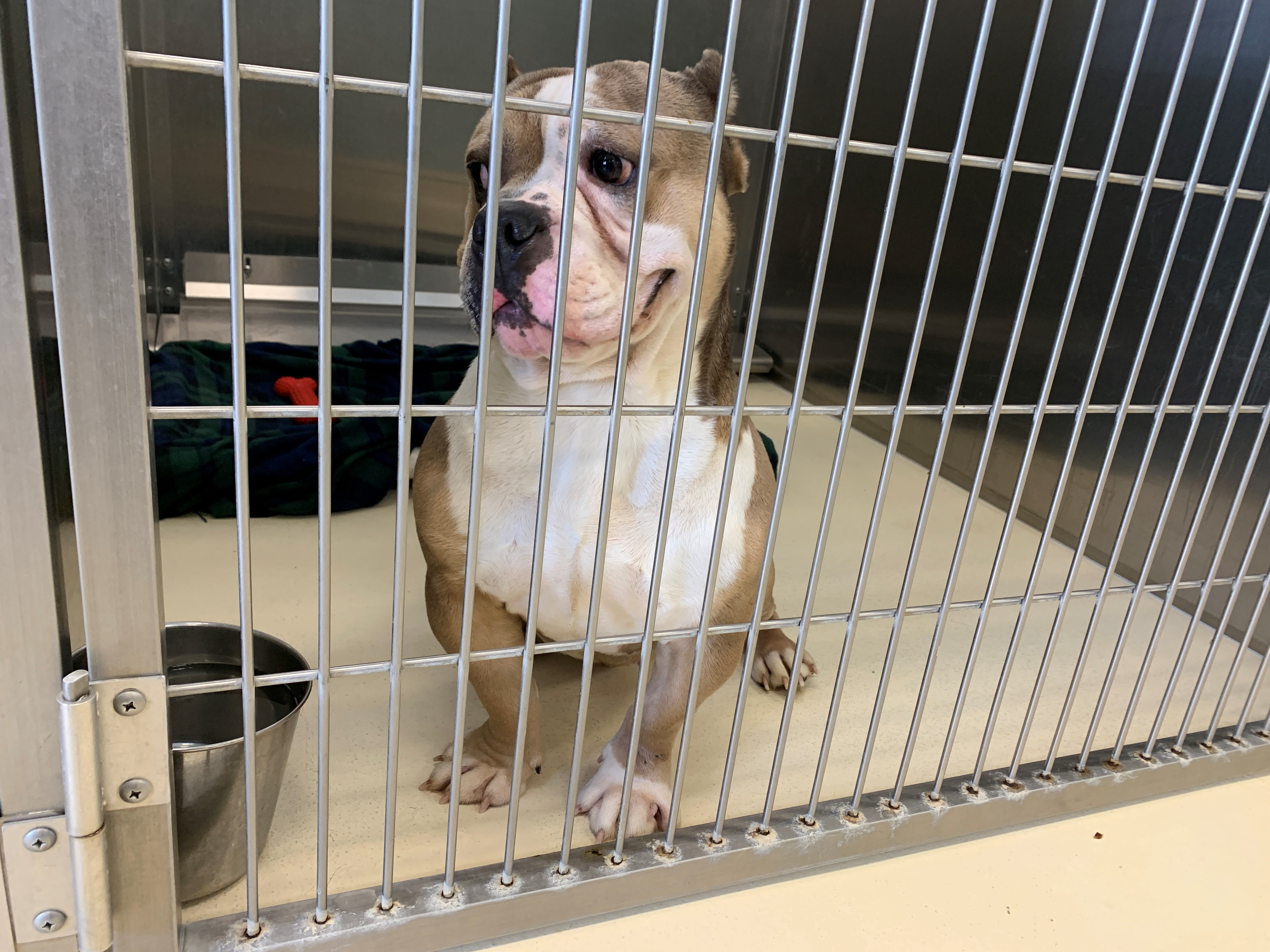 Congressman Meatloaf is a male English bulldog.{ }(WWMT/Trisha McCauley)