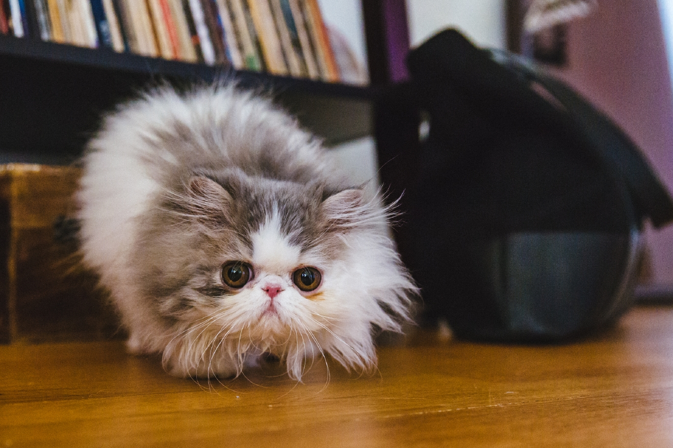 Our Pet of the Week is Mildred the Persian kitty cat! Mildred is 3 months and 17 days old and lives with her parents here in Seattle. Mildred likes her butterfly toy, pushing coffee cups off the table, Bob's Burgers, and pretending she's a Swiffer duster. She dislikes getting her face cleaned and rules. You can follow the adventures of fluffy Mildred via her Instagram account, @missmildredthecat.  The Seattle RUFFined Spotlight is a weekly profile of local pets living and loving life in the PNW. If you or someone you know has a pet you'd like featured, email us at hello@seattlerefined.com or tag #SeattleRUFFined and your furbaby could be the next spotlighted! (Image: Sunita Martini / Seattle Refined).