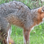 North Adams Police: Fox bit resident, animal believed to be sick