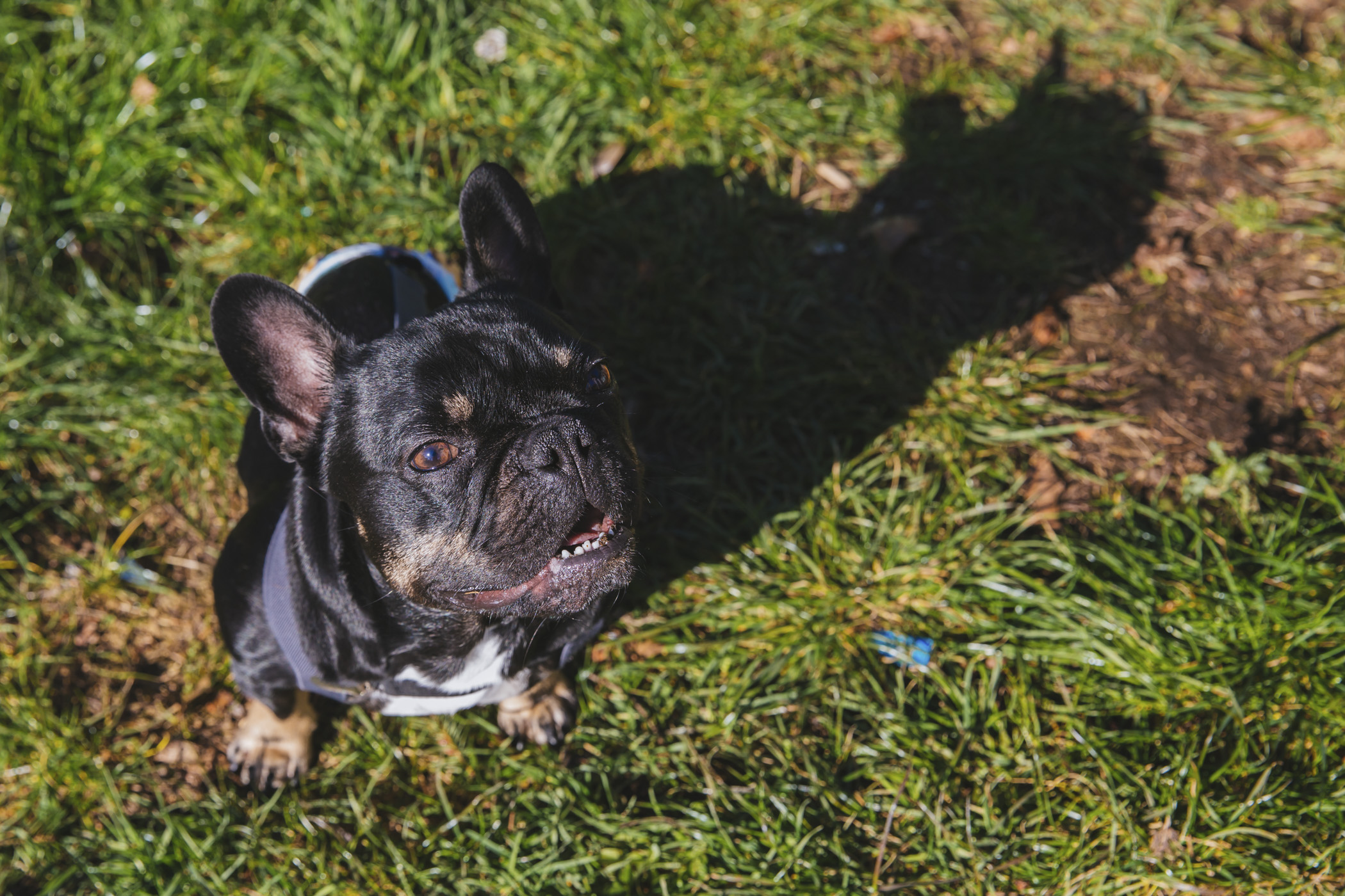 "I, Gustavo Grenier Lampe, am a 2-year-old Frenchie with IVDD but that doesn't slow me down! I am paralyzed so I wear diapers inside, but zoom around in my wheels like there's no tomorrow outside. I was adopted in October, and fell head over paws for my parents. I likes balls, treats and my cat brother, and don't care for loud noises and being wet. You can follow me{&nbsp;}<a  href=""https://www.instagram.com/megustavo_doggo/"" target=""_blank"" title=""https://www.instagram.com/megustavo_doggo/"">@megustavo_doggo</a>.{&nbsp;}<a  href=""http://seattlerefined.com/ruffined"" target=""_blank"" title=""http://seattlerefined.com/ruffined"">The Seattle RUFFined Spotlight</a>{&nbsp;}is a weekly profile of local pets living and loving life in the PNW. If you or someone you know has a pet you'd like featured,{&nbsp;}<a  href=""mailto:hello@seattlerefined.com"" target=""_blank"" title=""mailto:hello@seattlerefined.com"">email us</a>{&nbsp;}at and your furbaby could be the next spotlighted! (Image: Sunita Martini / Seattle Refined)"