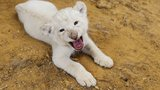 Endangered white lion cub on display at Texas sanctuary